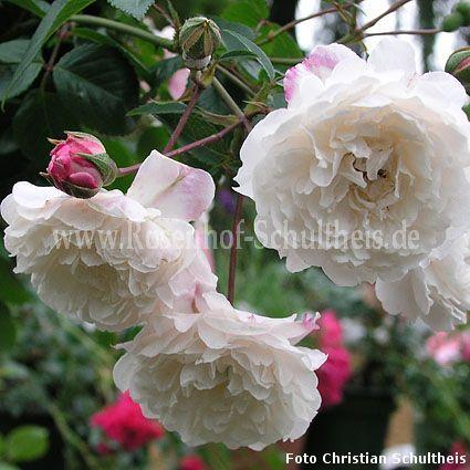 little white pet rosen online kaufen im rosenhof. Black Bedroom Furniture Sets. Home Design Ideas