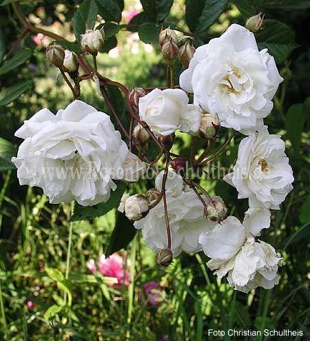 schneewittchen 39 01 rosen online kaufen im rosenhof. Black Bedroom Furniture Sets. Home Design Ideas