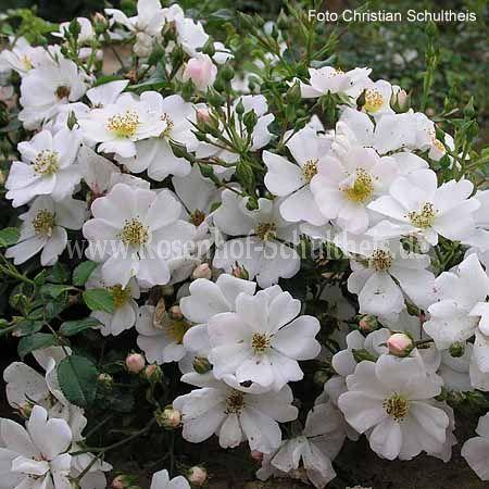 sternenflor rosen online kaufen im rosenhof schultheis rosen online kaufen im rosenhof. Black Bedroom Furniture Sets. Home Design Ideas