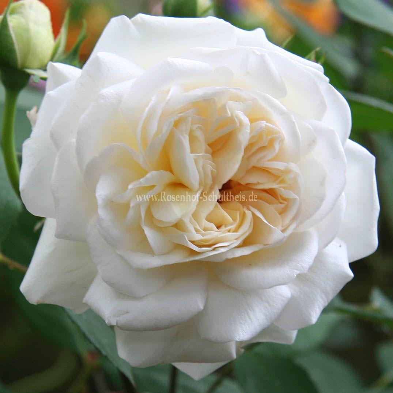 wei e gru an aachen rosen online kaufen im rosenhof schultheis rosen online kaufen im. Black Bedroom Furniture Sets. Home Design Ideas
