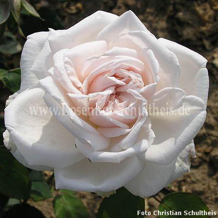 f rstin von pless rosen online kaufen im rosenhof schultheis rosen online kaufen im rosenhof. Black Bedroom Furniture Sets. Home Design Ideas