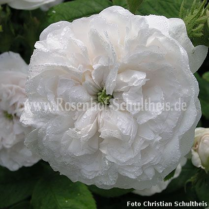 mme hardy rosen online kaufen im rosenhof schultheis. Black Bedroom Furniture Sets. Home Design Ideas