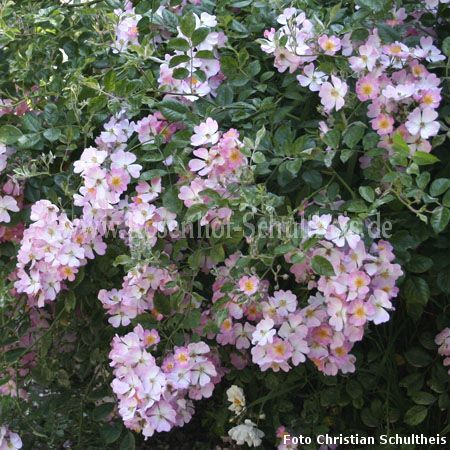 rosa sternenflor rosen online kaufen im rosenhof schultheis rosen online kaufen im rosenhof. Black Bedroom Furniture Sets. Home Design Ideas