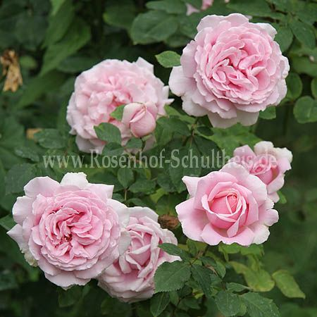 frederic mistral rosen online kaufen im rosenhof. Black Bedroom Furniture Sets. Home Design Ideas