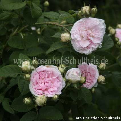 f licit parmentier rosen online kaufen im rosenhof. Black Bedroom Furniture Sets. Home Design Ideas