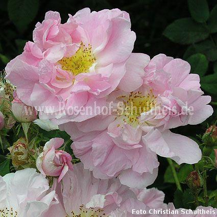 celsiana rosen online kaufen im rosenhof schultheis. Black Bedroom Furniture Sets. Home Design Ideas