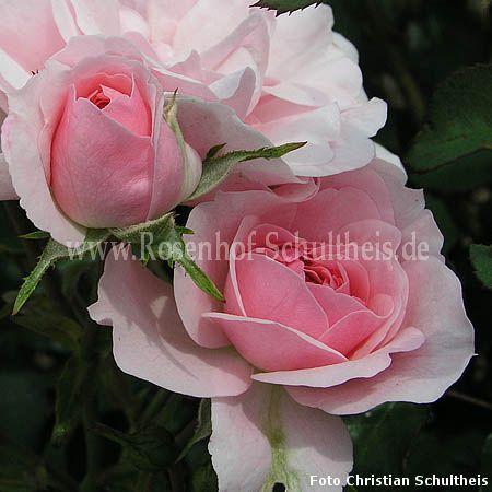 bonica 39 82 rosen online kaufen im rosenhof schultheis. Black Bedroom Furniture Sets. Home Design Ideas