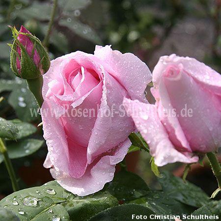 felberg 39 s rosa druschki rosen online kaufen im rosenhof schultheis rosen online kaufen im. Black Bedroom Furniture Sets. Home Design Ideas