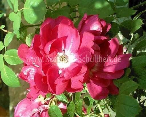 guna rosen online kaufen im rosenhof schultheis rosen. Black Bedroom Furniture Sets. Home Design Ideas