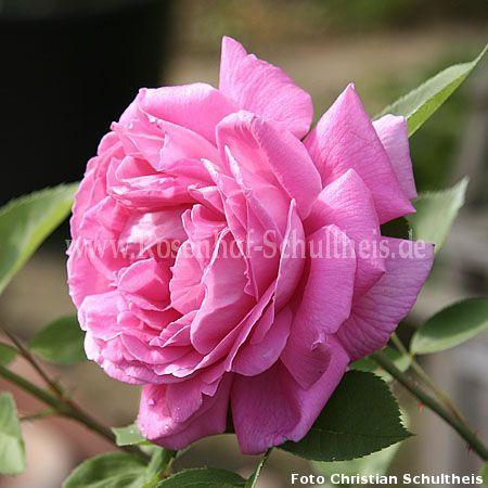 schultheis rosen rosenhof schultheis in steinfurth garten. Black Bedroom Furniture Sets. Home Design Ideas