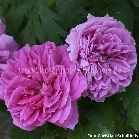 heinrich schultheis rosen online kaufen im rosenhof schultheis rosen online kaufen im. Black Bedroom Furniture Sets. Home Design Ideas