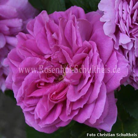 heinrich schultheis rosen online kaufen im rosenhof. Black Bedroom Furniture Sets. Home Design Ideas
