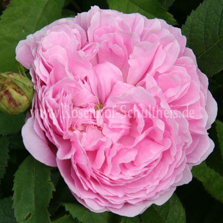 jacques cartier rosen online kaufen im rosenhof. Black Bedroom Furniture Sets. Home Design Ideas