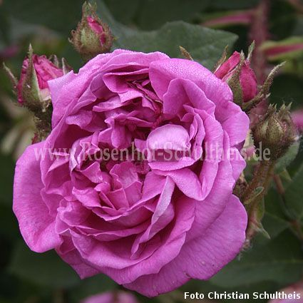 little gem rosen online kaufen im rosenhof schultheis rosen online kaufen im rosenhof schultheis. Black Bedroom Furniture Sets. Home Design Ideas