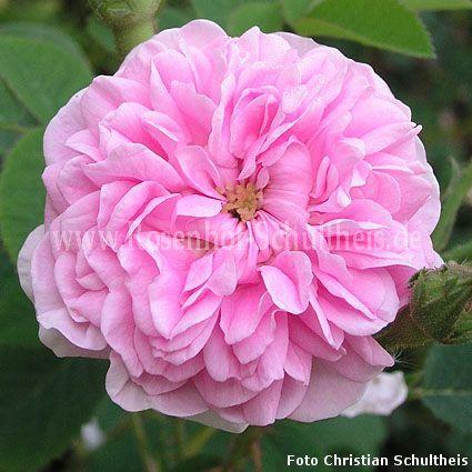 petite lisette rosen online kaufen im rosenhof schultheis rosen online kaufen im rosenhof. Black Bedroom Furniture Sets. Home Design Ideas