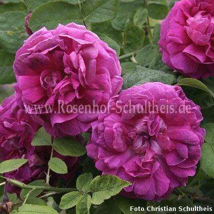 rembrandt rosen online kaufen im rosenhof schultheis. Black Bedroom Furniture Sets. Home Design Ideas