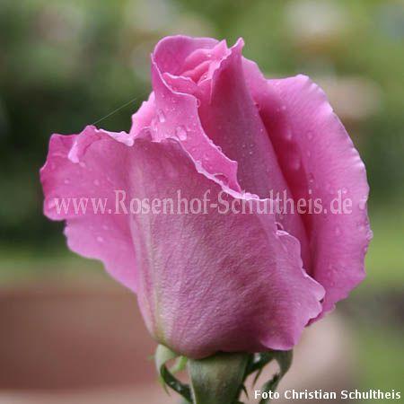 ruhm von steinfurth rosen online kaufen im rosenhof. Black Bedroom Furniture Sets. Home Design Ideas