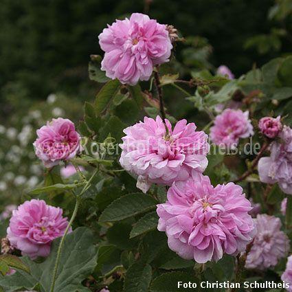 zoe rosen online kaufen im rosenhof schultheis rosen online kaufen im rosenhof schultheis. Black Bedroom Furniture Sets. Home Design Ideas