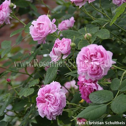 blush damask rosen online kaufen im rosenhof schultheis. Black Bedroom Furniture Sets. Home Design Ideas