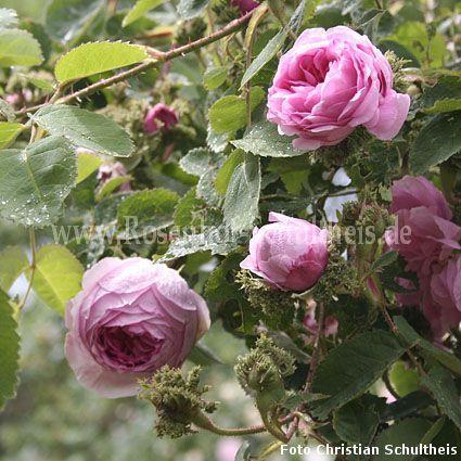 cristata rosen online kaufen im rosenhof schultheis rosen online kaufen im rosenhof schultheis. Black Bedroom Furniture Sets. Home Design Ideas