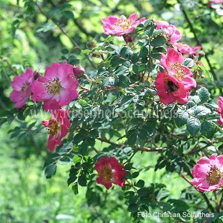 eos rosen online kaufen im rosenhof schultheis rosen online kaufen im rosenhof schultheis. Black Bedroom Furniture Sets. Home Design Ideas
