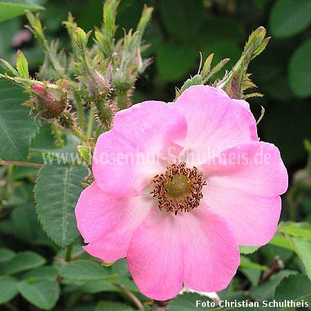 fenja rosen online kaufen im rosenhof schultheis rosen online kaufen im rosenhof schultheis. Black Bedroom Furniture Sets. Home Design Ideas