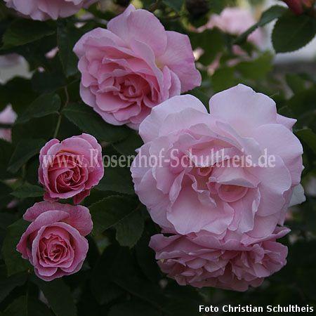 fritz nobis rosen online kaufen im rosenhof schultheis rosen online kaufen im rosenhof. Black Bedroom Furniture Sets. Home Design Ideas