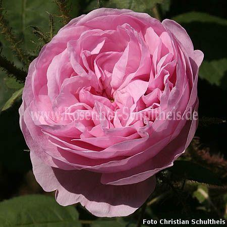 rosa muscosa rosen online kaufen im rosenhof schultheis rosen online kaufen im rosenhof. Black Bedroom Furniture Sets. Home Design Ideas