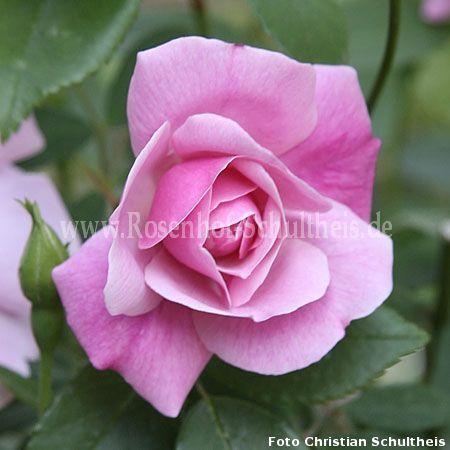 old blush rosen online kaufen im rosenhof schultheis rosen online kaufen im rosenhof schultheis. Black Bedroom Furniture Sets. Home Design Ideas