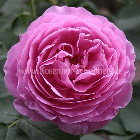 prince napol on rosen online kaufen im rosenhof. Black Bedroom Furniture Sets. Home Design Ideas