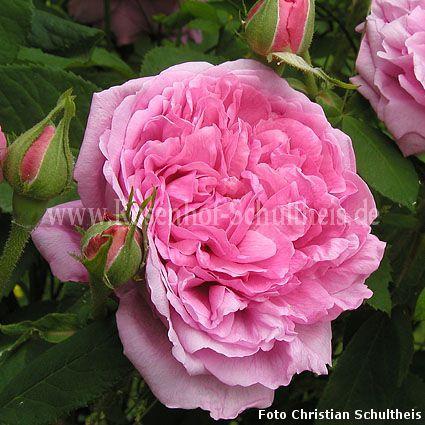reine des centfeuilles rosen online kaufen im rosenhof schultheis rosen online kaufen im. Black Bedroom Furniture Sets. Home Design Ideas