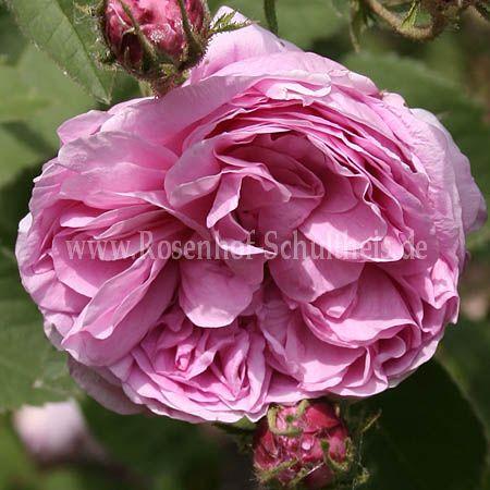 rosen online kaufen cool schloss ippenburg prince jardinier with rosen online kaufen free. Black Bedroom Furniture Sets. Home Design Ideas