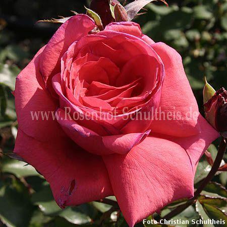 duftwolke rosen online kaufen im rosenhof schultheis rosen online kaufen im rosenhof schultheis. Black Bedroom Furniture Sets. Home Design Ideas