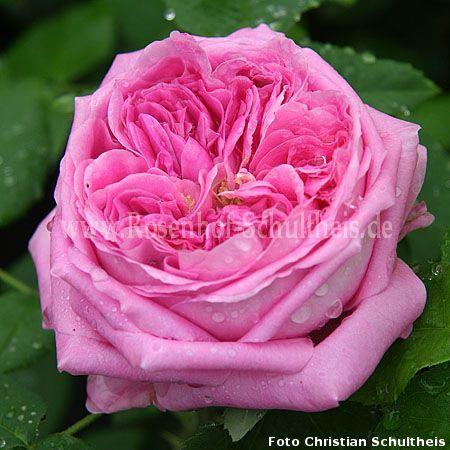 anna de diesbach rosen online kaufen im rosenhof schultheis rosen online kaufen im rosenhof. Black Bedroom Furniture Sets. Home Design Ideas