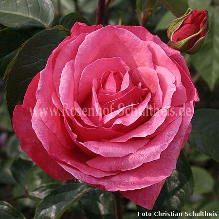 sebastian schultheis rosen online kaufen im rosenhof. Black Bedroom Furniture Sets. Home Design Ideas