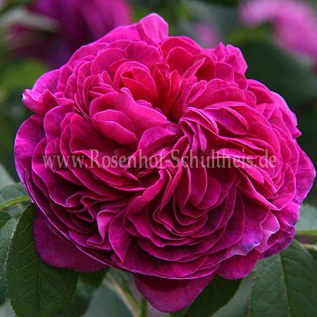 charles de mills rosen online kaufen im rosenhof schultheis rosen online kaufen im rosenhof. Black Bedroom Furniture Sets. Home Design Ideas