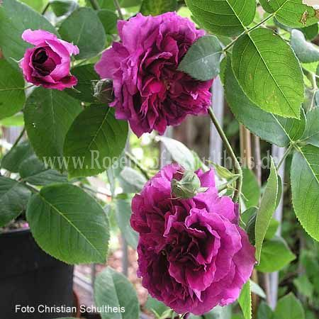 erinnerung an brod rosen online kaufen im rosenhof schultheis rosen online kaufen im. Black Bedroom Furniture Sets. Home Design Ideas