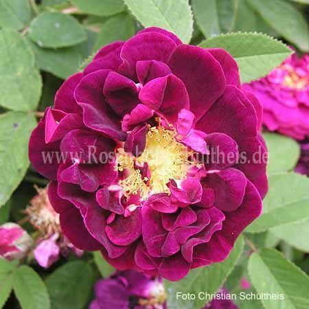 tuscany rosen online kaufen im rosenhof schultheis. Black Bedroom Furniture Sets. Home Design Ideas