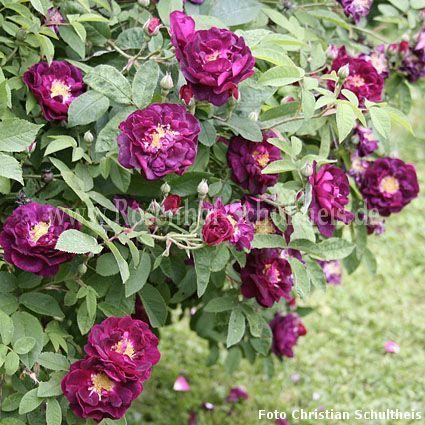 tuscany rosen online kaufen im rosenhof schultheis rosen online kaufen im rosenhof schultheis. Black Bedroom Furniture Sets. Home Design Ideas
