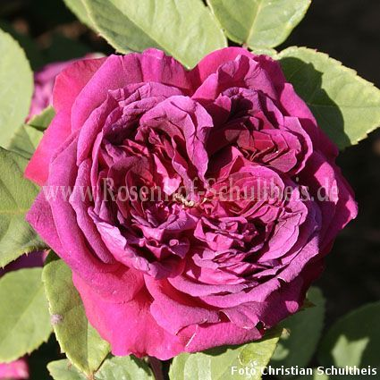 arthur de sansal rosen online kaufen im rosenhof. Black Bedroom Furniture Sets. Home Design Ideas