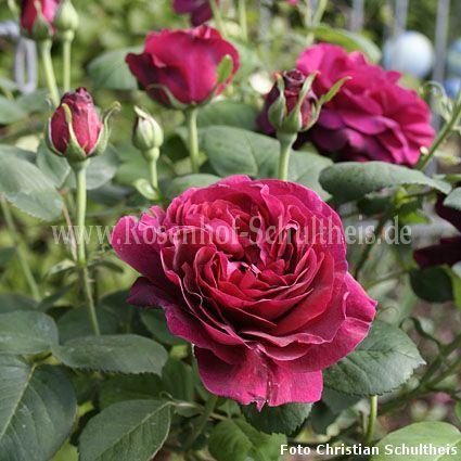 rose du roi rosen online kaufen im rosenhof schultheis rosen online kaufen im rosenhof. Black Bedroom Furniture Sets. Home Design Ideas
