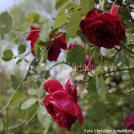 gru an teplitz rosen online kaufen im rosenhof schultheis rosen online kaufen im rosenhof. Black Bedroom Furniture Sets. Home Design Ideas