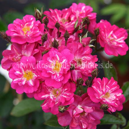 robin hood rosen online kaufen im rosenhof schultheis rosen online kaufen im rosenhof schultheis. Black Bedroom Furniture Sets. Home Design Ideas