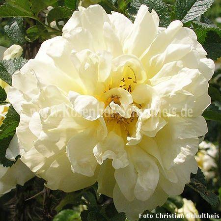 agnes rosen online kaufen im rosenhof schultheis rosen online kaufen im rosenhof schultheis. Black Bedroom Furniture Sets. Home Design Ideas