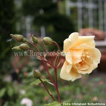 francesca rosen online kaufen im rosenhof schultheis rosen online kaufen im rosenhof schultheis. Black Bedroom Furniture Sets. Home Design Ideas