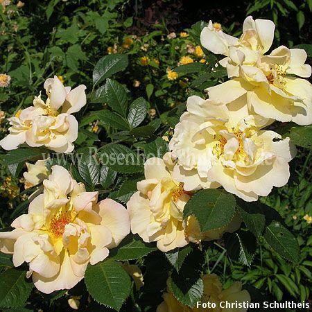 fr hlingsgold rosen online kaufen im rosenhof schultheis rosen online kaufen im rosenhof. Black Bedroom Furniture Sets. Home Design Ideas