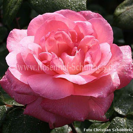aachener dom rosen online kaufen im rosenhof schultheis. Black Bedroom Furniture Sets. Home Design Ideas