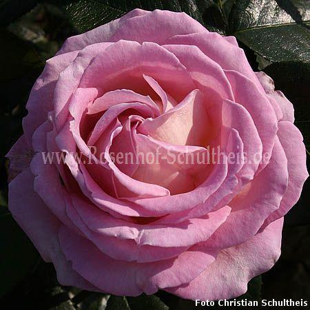 elle rosen online kaufen im rosenhof schultheis rosen online kaufen im rosenhof schultheis. Black Bedroom Furniture Sets. Home Design Ideas