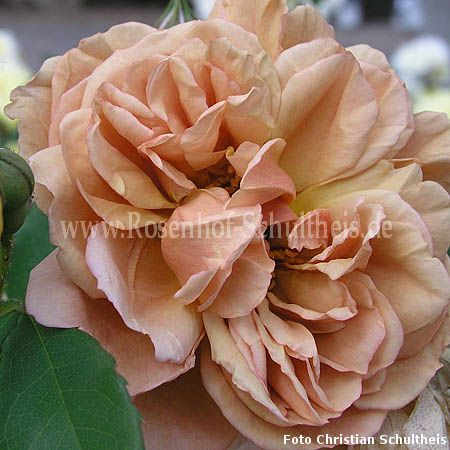 caf rosen online kaufen im rosenhof schultheis rosen online kaufen im rosenhof schultheis. Black Bedroom Furniture Sets. Home Design Ideas