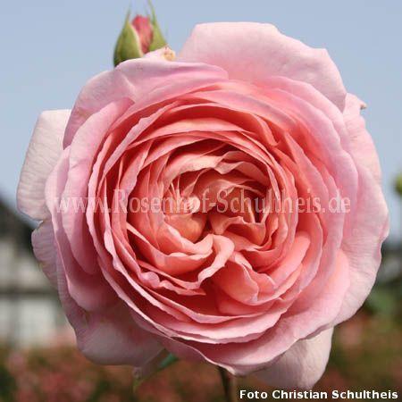 abraham darby rosen online kaufen im rosenhof schultheis rosen online kaufen im rosenhof. Black Bedroom Furniture Sets. Home Design Ideas